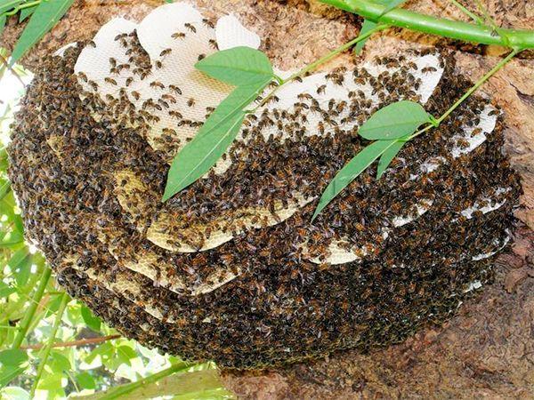 Дикие пчелы живут дольше пчел с пасеки