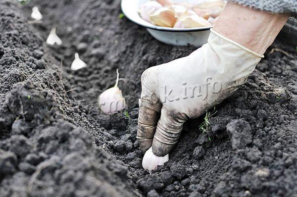 Для получения большого урожая, нужно подобрать хороший посевной материал
