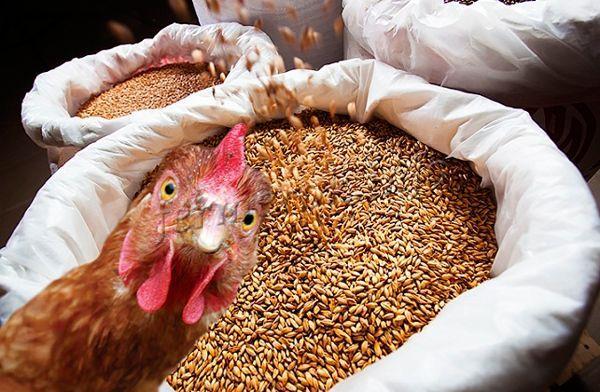 Для кур используют фуражную пшеницу