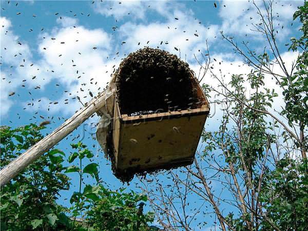 Для того, чтобы поймать рой пчел, обычно используют простые ловушки