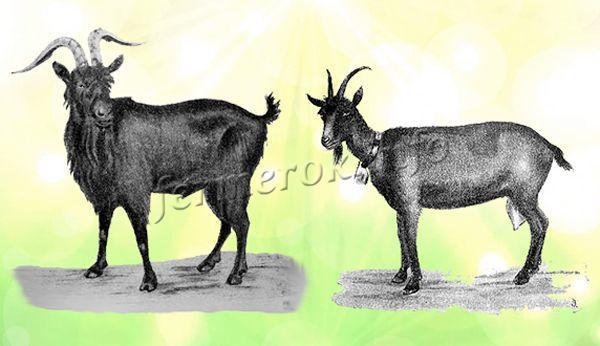 Экстерьер Альпийской породы коз