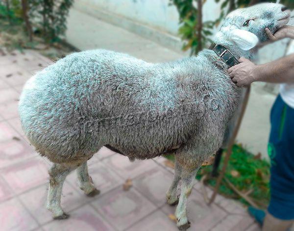 Экстерьер Гиссарской породы овец