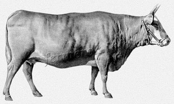 Экстерьер Калмыцкой породы коров