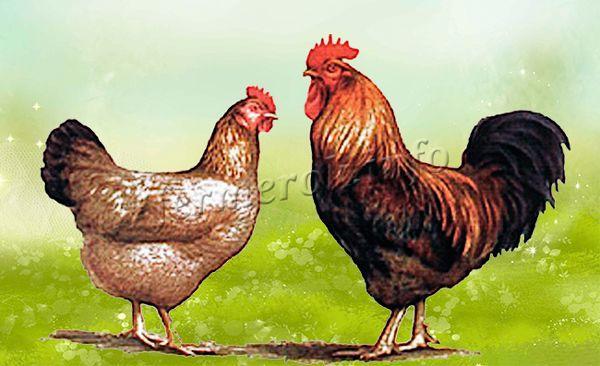 Экстерьер Кучинской юбилейной породы кур