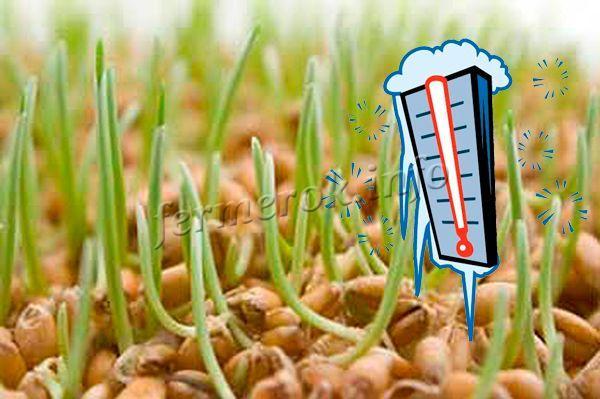 Если за сутки до посадки закалить семена, они прорастут быстрее