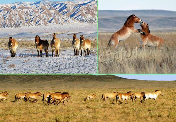 Естественная среда обитания Лошади Пржевальского