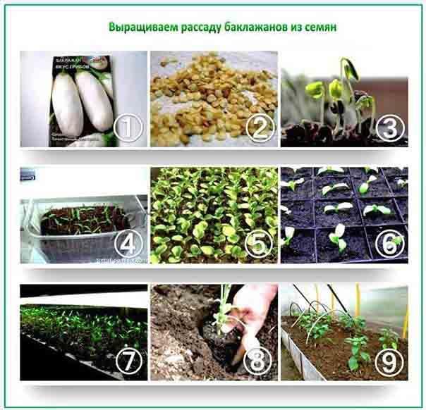 Этапы выращивания рассады баклажанов из семян