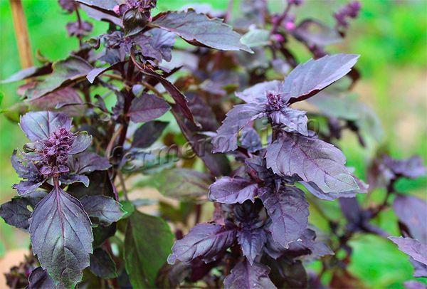 Фиолетовый базилик имеет резкий вкус и аромат