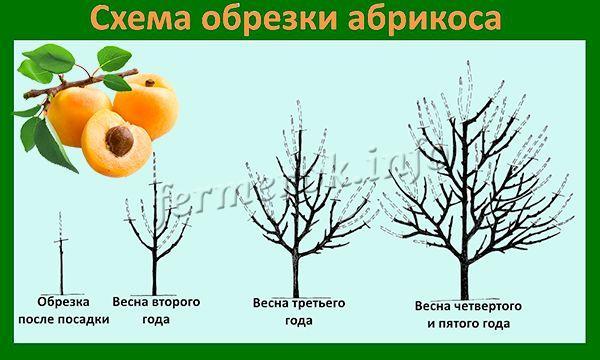 Формирование кроны абрикоса проходит на протяжении первых 4 лет жизни дерева