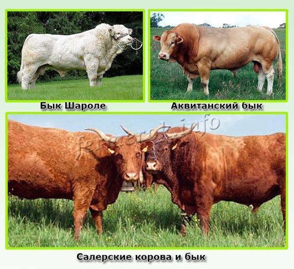 Французские породы мясных быков