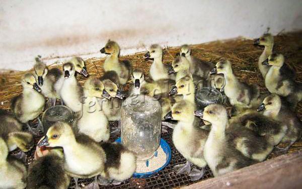 Гусята весьма скороспелые, за 2 месяца откорма они могут достигнуть массы в 3,2-3,8 кг!