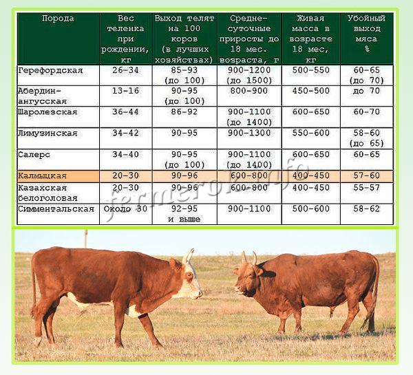 Характеристики Калмыцкой породы коров