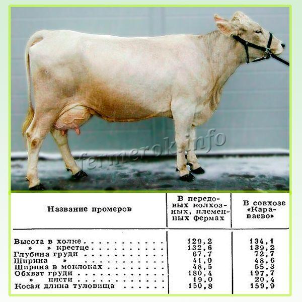 Характеристики Костромской породы коров