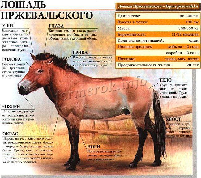 Характеристики Лошади Пржевальского