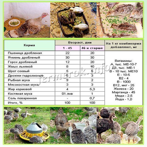 Индюшат с первого дня жизни и до 1 месяца кормят 8 раза в день