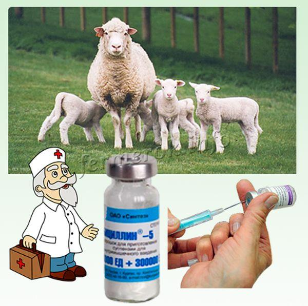 Инфекционный мастит у овец