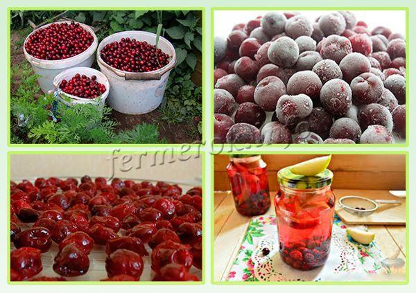 Использовать урожай вишни Шоколадницы можно для свежего употребления, заморозки, приготовления разных блюд (десертов), консервации