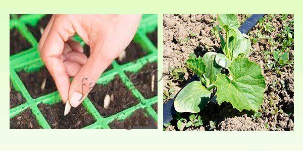 Кабачки на рассаду для открытого грунта