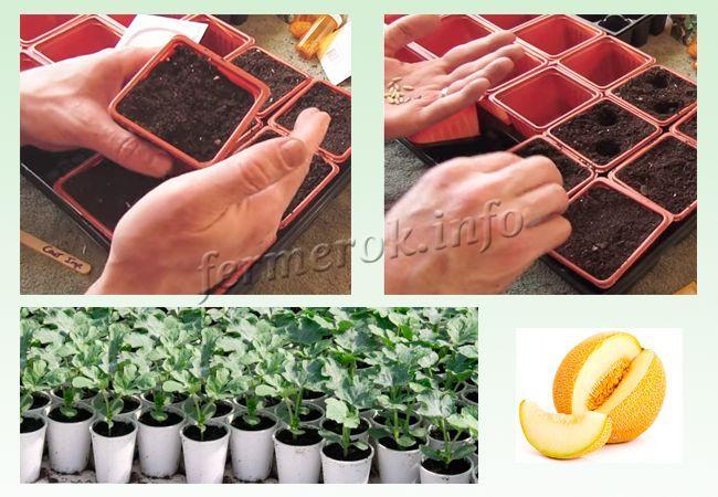 Как сажать семена дыни