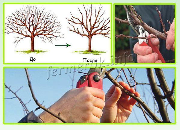 Как только весной повысилась температура, но листики на дереве еще не появились, проводится обрезка абрикоса