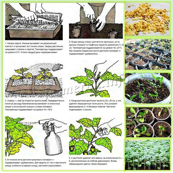 Как выращивать рассаду баклажан