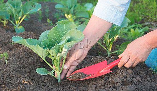 Капуста Слава выращивается рассадным и безрассадным методом