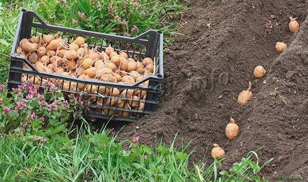 Картофель для посева должен быть среднего размера
