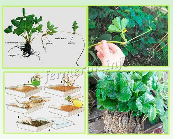 Клубника Фестивальная размножается усиками, семенами и рассадой