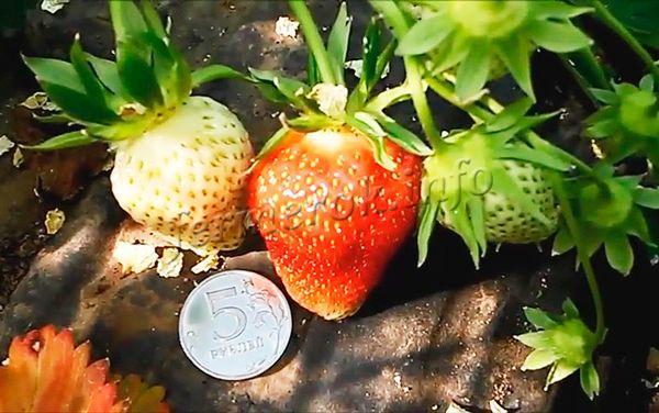 Клубника сорта Клери имеет крупные ягоды до 40 граммов