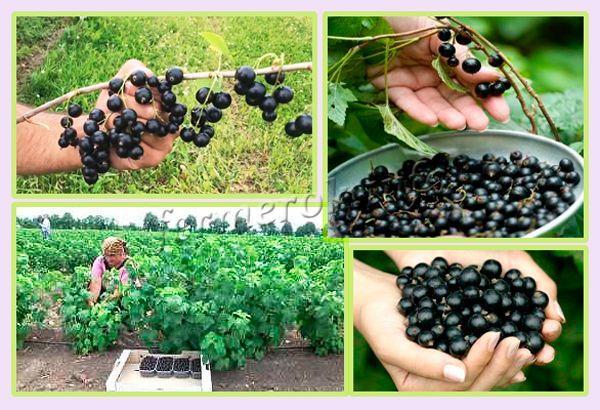 Количество урожая в среднем 20 т/га или 3-4,5 кг/куста