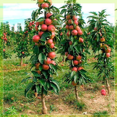 Картинки по запросу яблоня картинки
