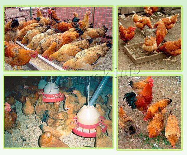 Кормление Кучинской юбилейной породы кур