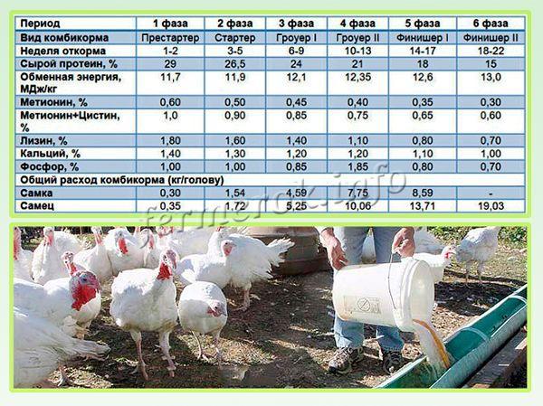 Кормление и подбор корма для индюков в домашних условиях