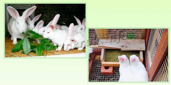 Кормление кроликов Белый Великан