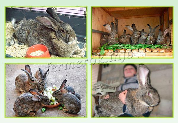 как лучший кролики породы фландр кормление достигается путем уменьшения