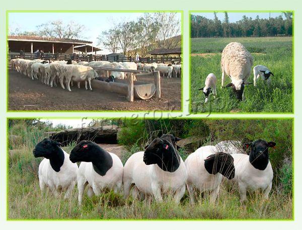 Кормление овец Дорпер