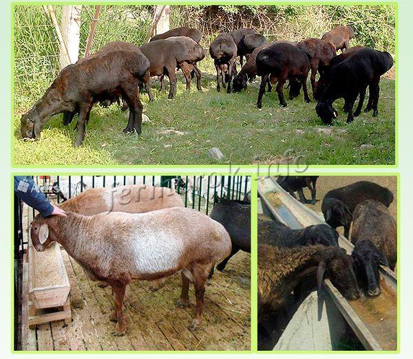 Кормление овец Гиссарской породы