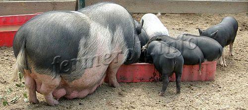 Кормление вьетнамской вислобрюхой свиньи