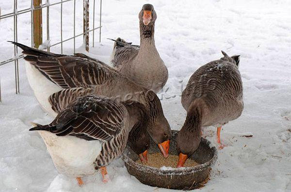 Кормят зимой гусей 3 раза в сутки