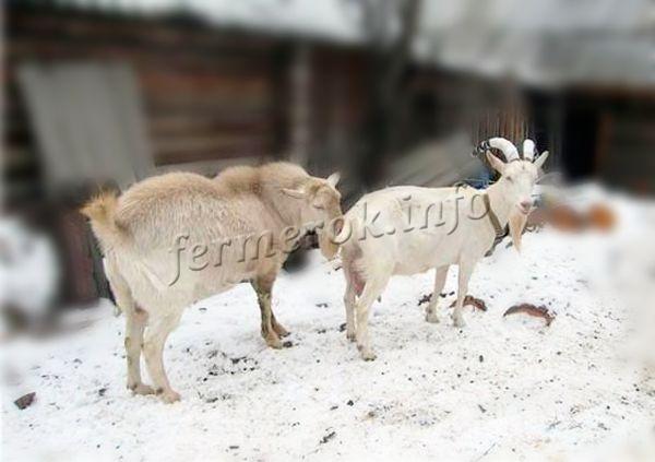 Коза даст молоко только после окота