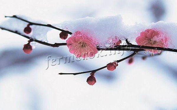 Критерий зимостойкости самого дерева и отдельно цветковых почек