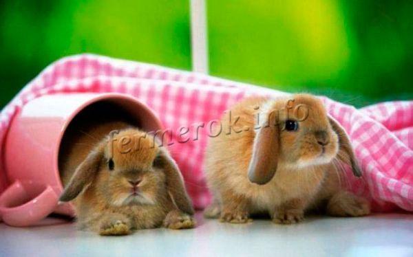 Кролики породы Карликовый баран