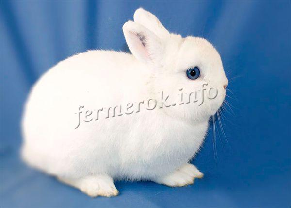 Кролик породы Гермелин