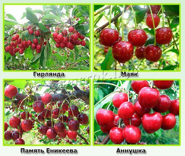 Крупноплодные сорта самоплодной вишни