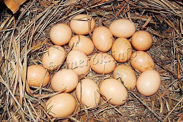 Когда начинают нестись куры молодки и по сколько яиц