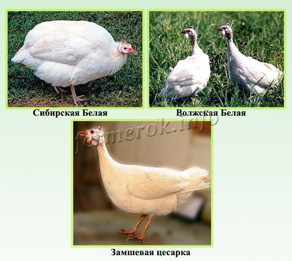 Лучшие мясные породы цесарок