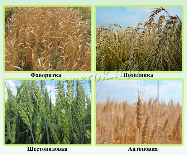 Лучшие сорта озимой пшеницы