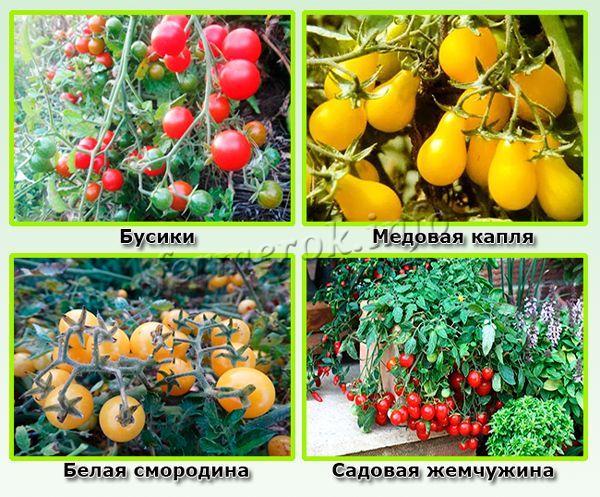 Лучшие сорта помидор черри для открытого грунта