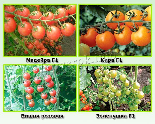 Лучшие сорта помидор черри для теплиц