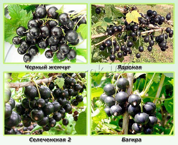 Лучшие сорта смородины для Сибири